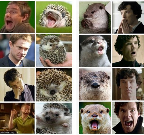 A 4x4 grid of pictures of Martin Freeman as Doctor Watson with matching hedgehogs, and pictures of Benedict Cumberbatch as Sherlock Holmes with matching otters
